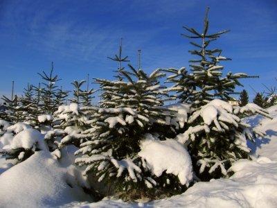Weihnachtsbäume im Schnee