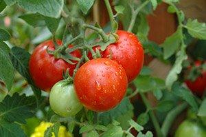 Tomaten aussäen