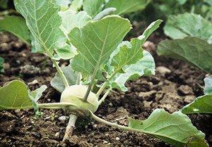 Kohlrabi pflanzen: So klappt's am besten