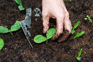 Kürbis pflanzen und pflegen im eigenen Garten