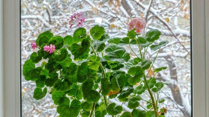 Geranien richtig über den Winter bringen