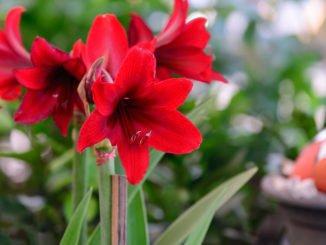 Amaryllis Garten