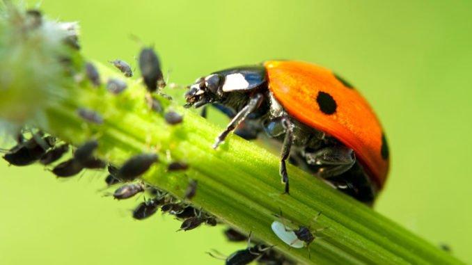 Marienkäfer: Natürlicher Feind bei Blattlausbefall