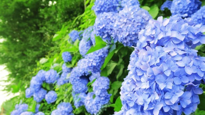 Hortensien blau färben