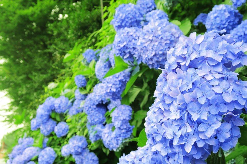 hortensien blau f rben darauf m ssen sie achten
