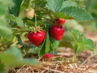 Erdbeerturm selber bauen