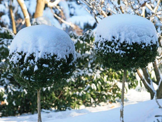 Winter Buchsbaum Garten