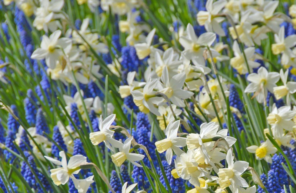 Narzissen Blumenwiese