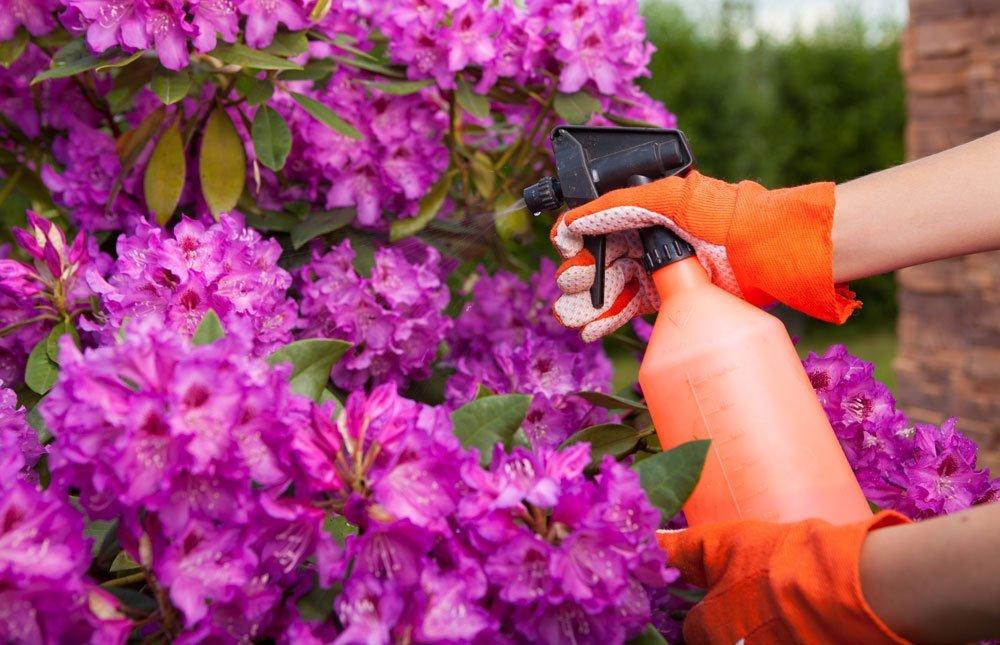 Rhododendron spritzen