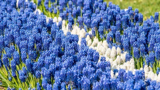 Traubenhyazinthe blau weiß