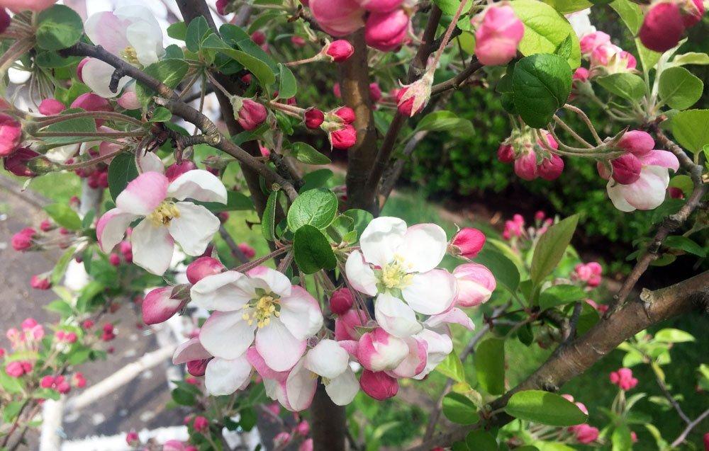 Zierapfel Blüte