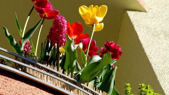 Tulpen Balkon