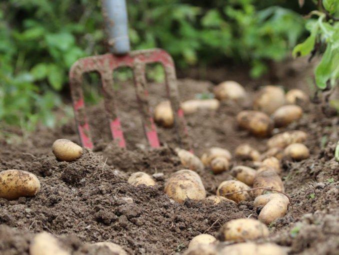 Kartoffeln pflanzen ernten