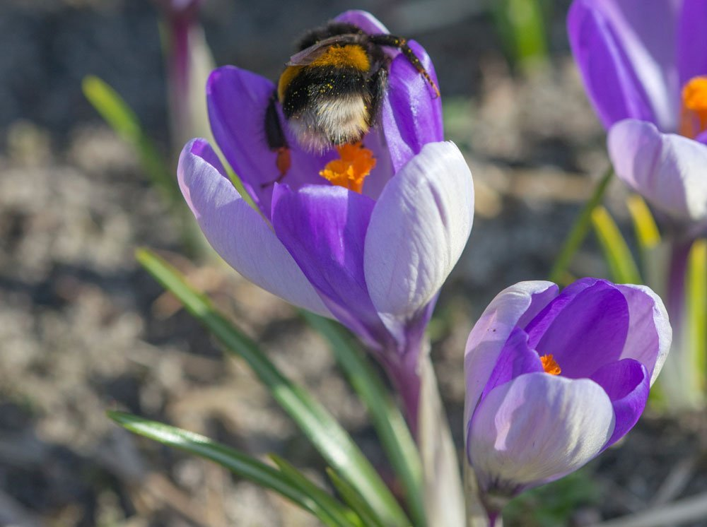 Krokusse Bienen