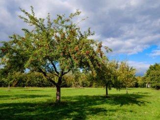 lange steile Äste Obstbaum