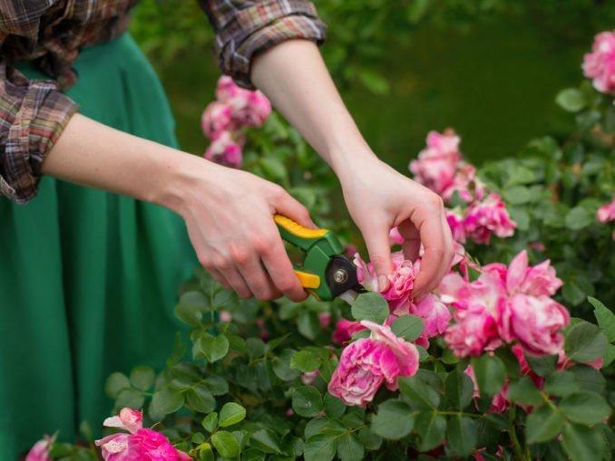 Rosen schneiden Anleitung