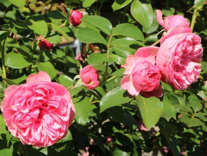 Rosenpflege Frühjahr