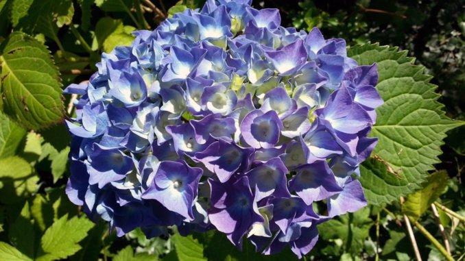 blaue Farben Garten