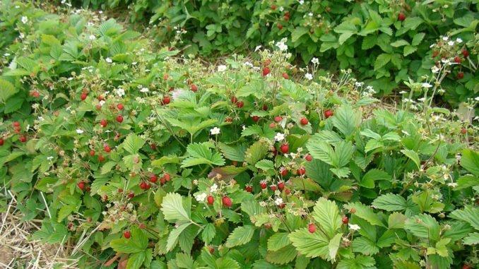 Erdbeeren Pflanzzeit