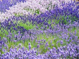 Lavendel Garten