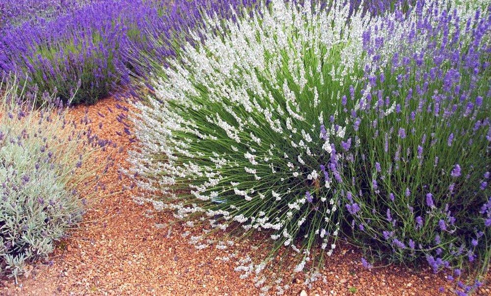 Lavendel weiß
