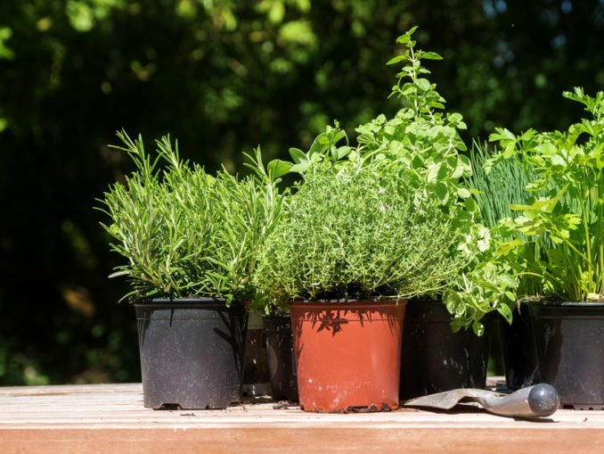 Heilpflanzen Heilkräuter Topf Balkon