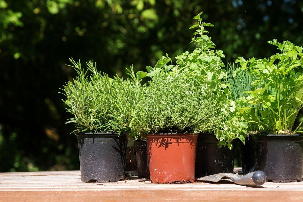 welche heilpflanzen gedeihen auch in t pfen. Black Bedroom Furniture Sets. Home Design Ideas