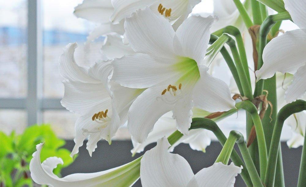 amaryllis umtopfen und farbenpracht f r den winter erhalten. Black Bedroom Furniture Sets. Home Design Ideas