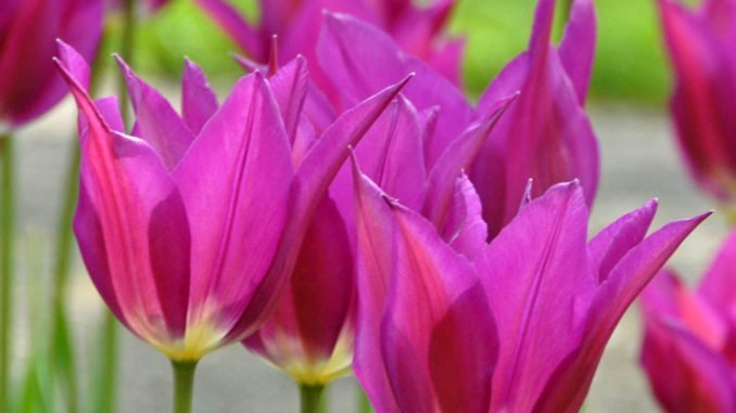 Dezember Blumenzwiebeln pflanzen