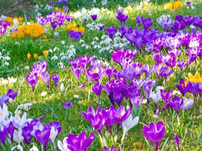 Frühjahrsblüher Pflege