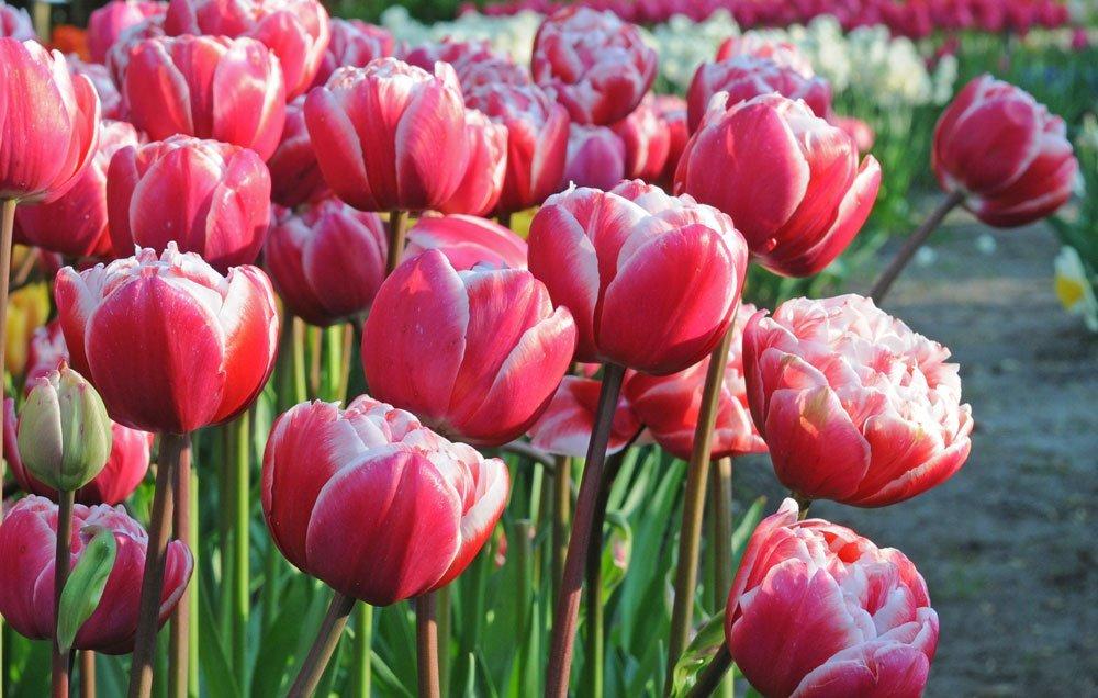 Tulpe Drumline