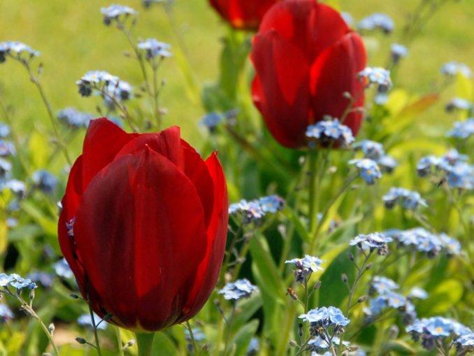 Tulpen pflanzen Tipps