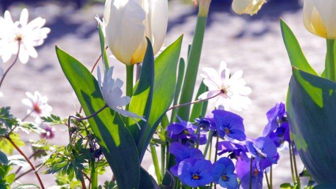 Zwiebelblumen Herbst Töpfe