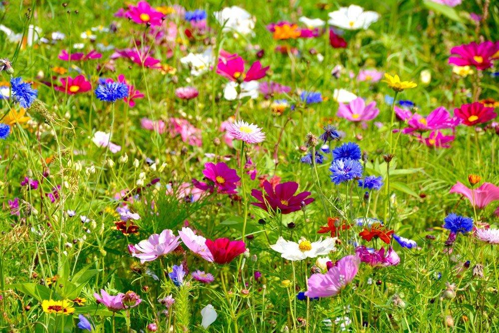 Wildblumen Wiese