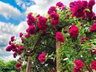 Rosen düngen Rinderdung