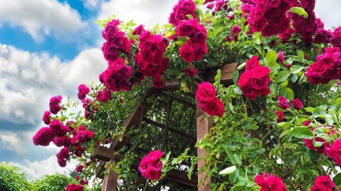 Außergewöhnlich Rosen düngen mit Rinderdung - Wann ist der beste Zeitpunkt? #HW_58