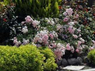 Bodendeckerrosen durch Stecklinge vermehren
