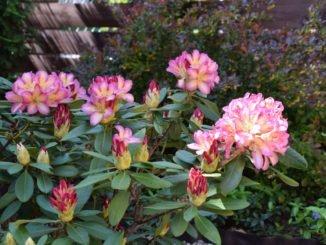 Netzwanzen am Rhododendron erkennen, vorbeugen und bekämpfen