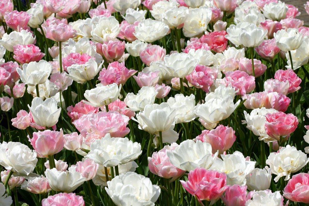 Tulpen Pink Cloud