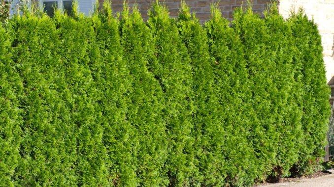 Thuja Lebensbaum pflanzen