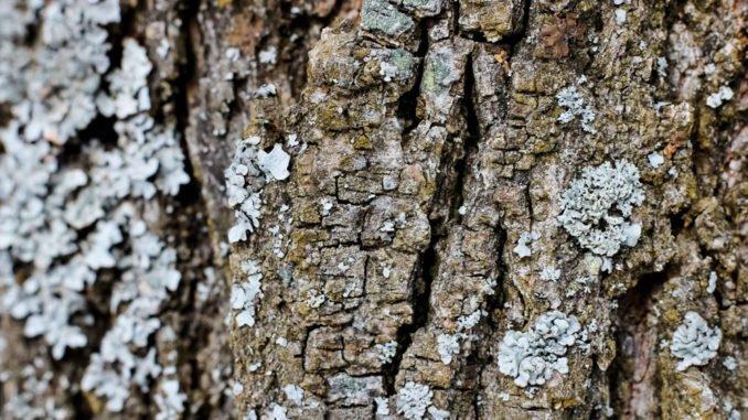 Obstbaumkrebs vorbeugen