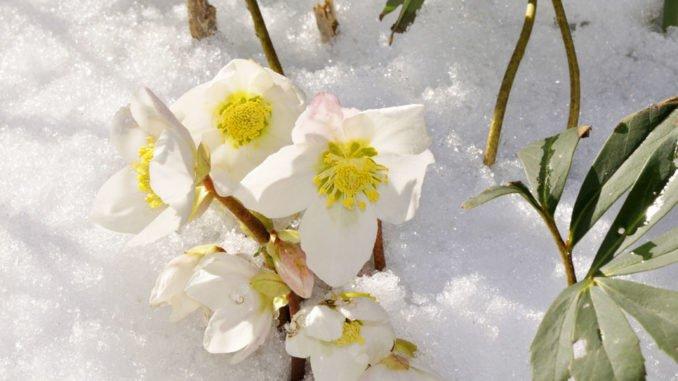 Schneerose Winter