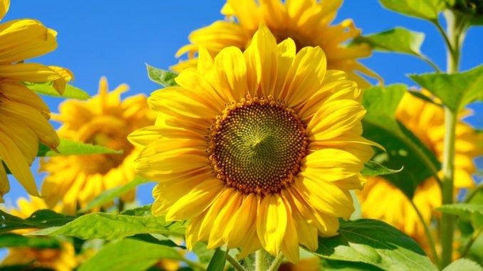 Sonnenblume im Topf