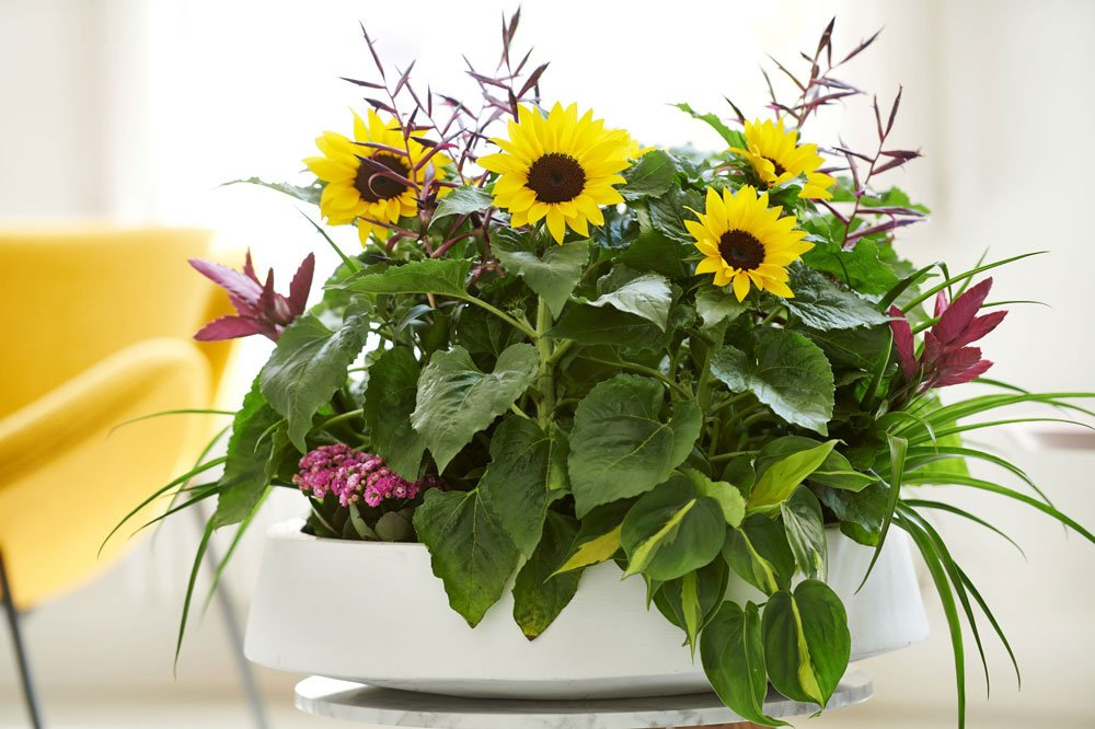 Sunsation Sonnenblume
