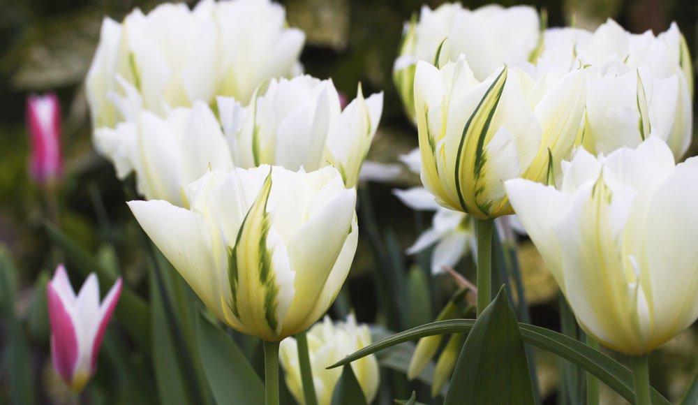 Viridiflora Tulpen