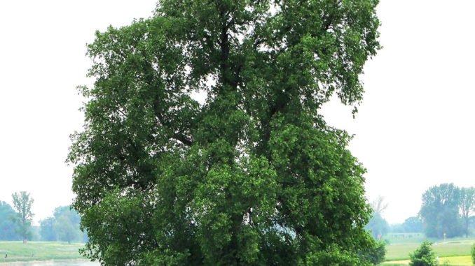 Flatterulme Baum des Jahres 2019