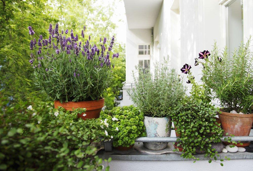 lavendel im topf perfekt f r balkon terrasse. Black Bedroom Furniture Sets. Home Design Ideas