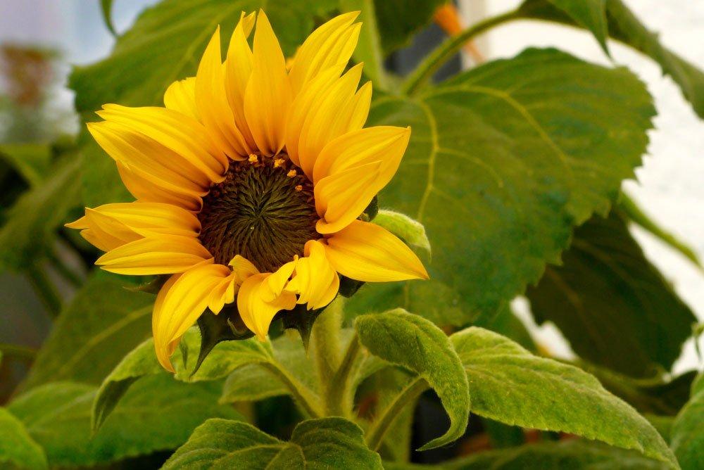 Sonnenblume Muttertag