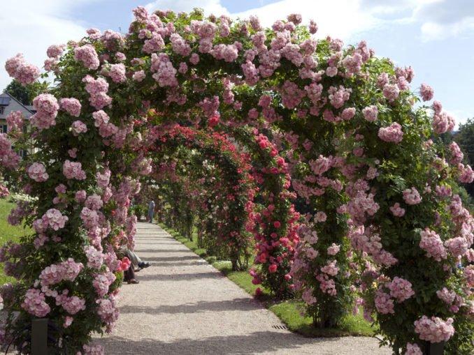Rosenbogen bepflanzen und pflegen