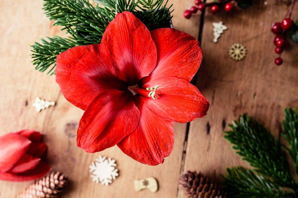Amaryllis Weihnachten